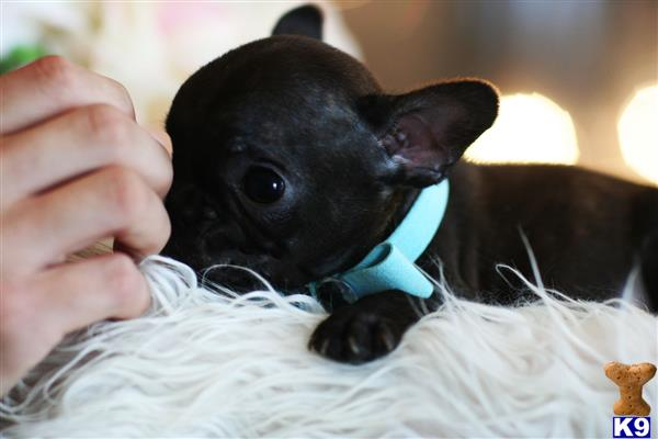 French Bulldog Puppy For Sale Mini French Bulldogs All
