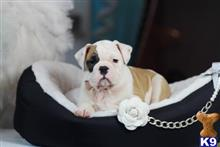 english bulldog puppy posted by tcuppuppiesforsale1