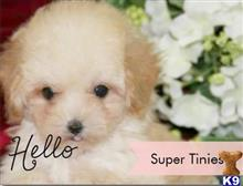 poodle puppy posted by tcuppuppiesforsale1