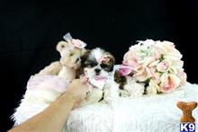 shih tzu puppy posted by tcuppuppiesforsale1
