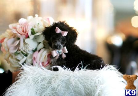puppy www teacuppuppiesstore com this puppy is very cute and i