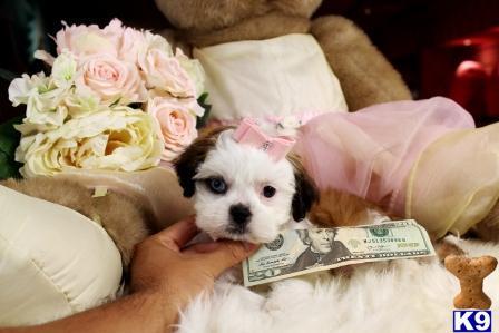 Shih Tzu Puppy for Sale: WE FINANCE - EASY TO APPLY WWW