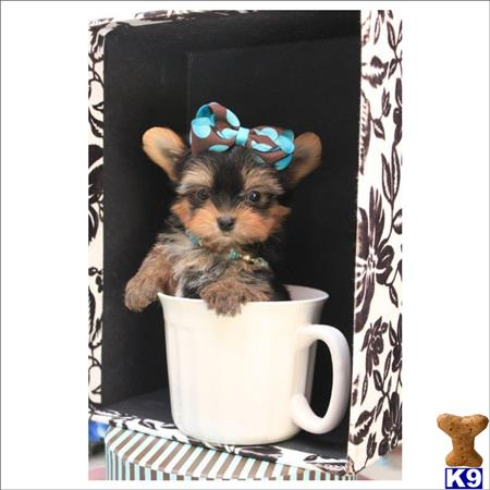 tcuppuppiesforsale4 Picture 1