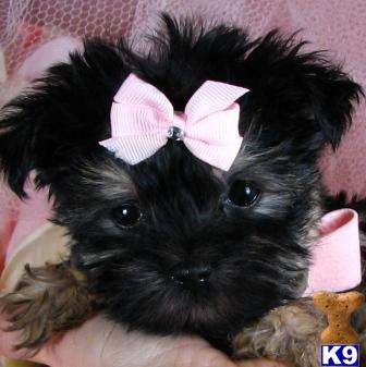 tcuppuppiesforsale4 Picture 3