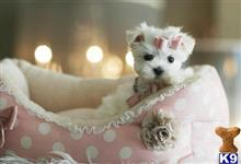 maltese puppy posted by tcuppuppiesforsale4