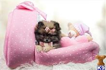 pomeranian puppy posted by tcuppuppiesforsale4