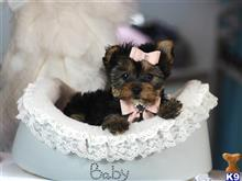 yorkshire terrier puppy posted by tcuppuppiesforsale4
