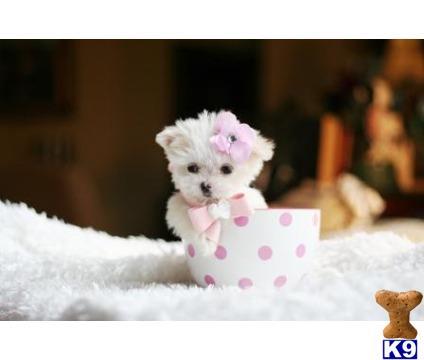 Maltese Puppy for Sale: FLORIDA-BEAUTIFUL TEACUP MALTESE