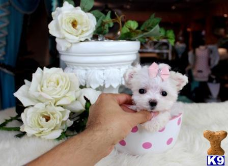 Maltese Puppy for Sale: FINANCE A BEAUTIFUL MALTESE TODAY