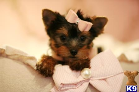 Yorkshire Terrier Puppy for Sale: FINANCE A BEAUTIFUL YORKIE TODAY