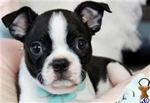 boston terrier puppy posted by tcuppuppiesforsale5