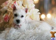 miniature schnauzer puppy posted by tcuppuppiesforsale5