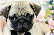 pug puppy posted by tcuppuppiesforsale5