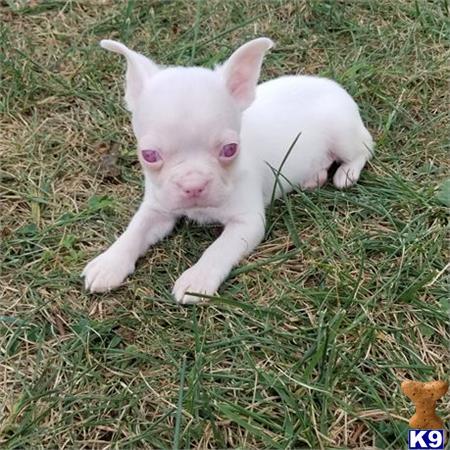 Boston Terrier Puppy For Sale Florida Gorgeous Albino Boston