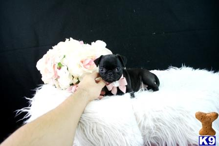 Pug Puppy For Sale Florida Cutest Mini Pugs We Ship 3 Months Old