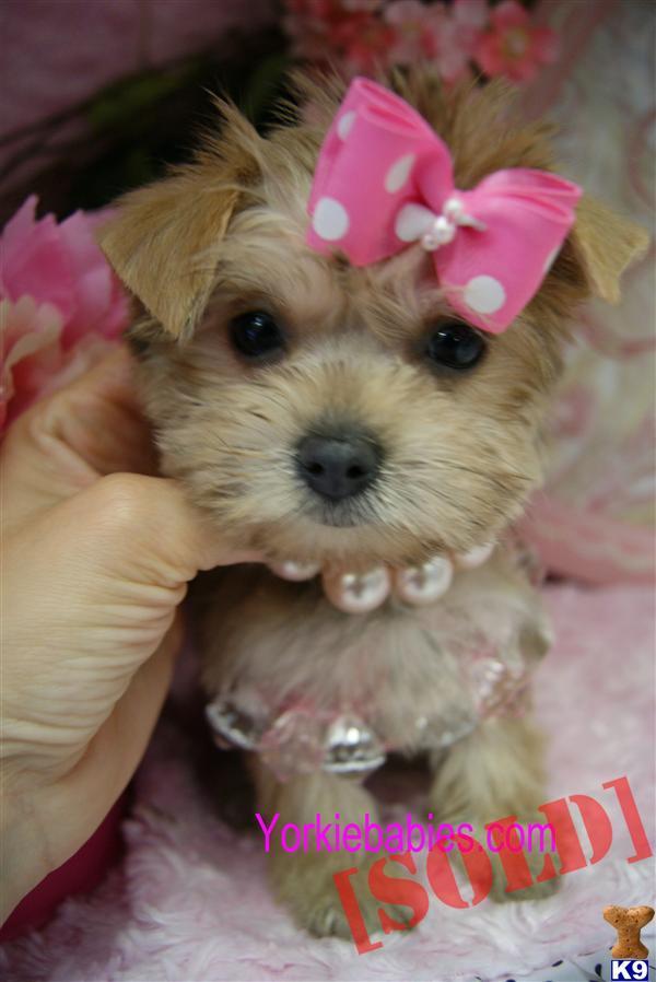 BEAUTIFUL TEACUP MORKIES YORKIEBABIES.COM. A Mixed Breed pup for sale ...