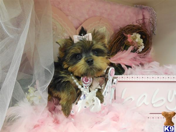 TeacupPuppies_yorkshire-terrier-b20138894832.jpg