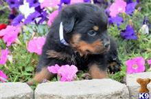 rottweiler puppy posted by teresawhittman