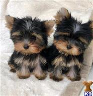 yorkshire terrier puppy posted by texasboy321