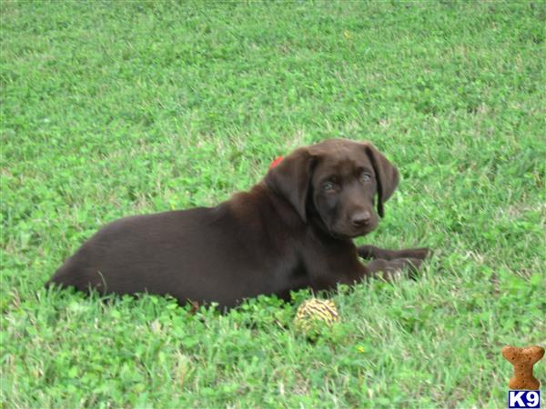 texaschocolatelabradorretrievers Picture 2