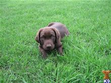 labrador retriever puppy posted by texaschocolatelabradorretrievers