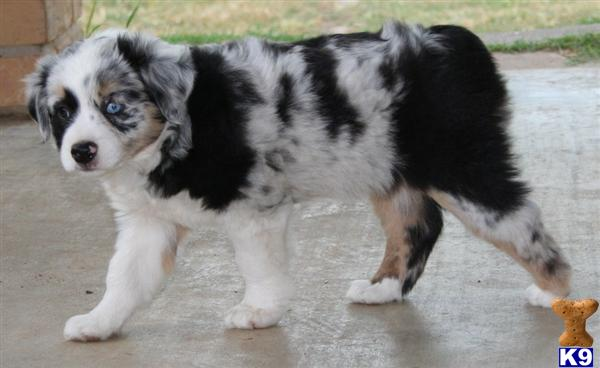 Miniature australian shepherd miniature aussiedoodle honey lake mini