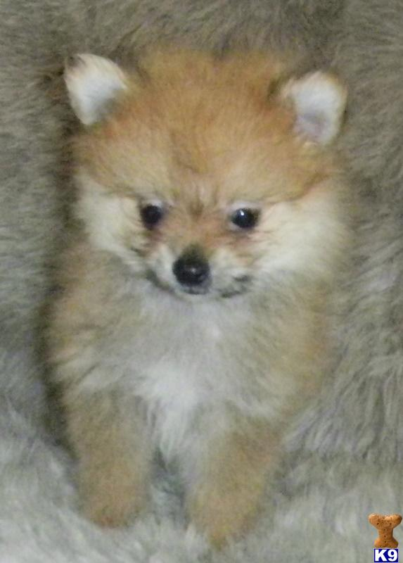 Red pomeranian puppy