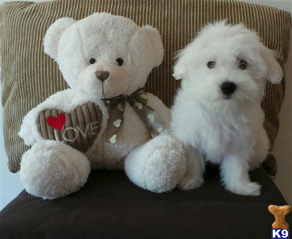 Quality Coton De Tulear Puppies Available Snowy