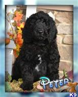 labradoodle puppy posted by thatdoggy