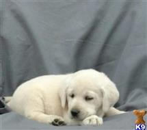 labrador retriever puppy posted by thatdoggy