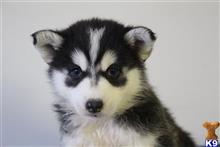 siberian husky puppy posted by thatdoggy