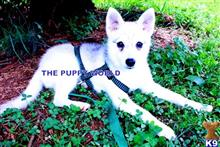 alaskan klee kai puppy posted by thepuppyworld