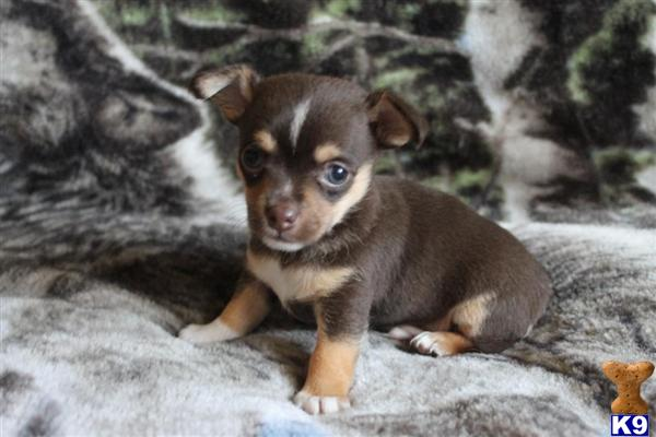 Locate Chihuahua Puppies for Sale in North Carolina - m5x.eu