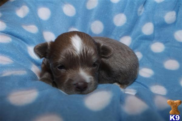 chihuahua puppies for sale in sc chihuahua puppy for sale ckc toy chihuahua puppies in 155