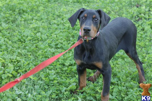 Doberman Pinscher Puppies in NC