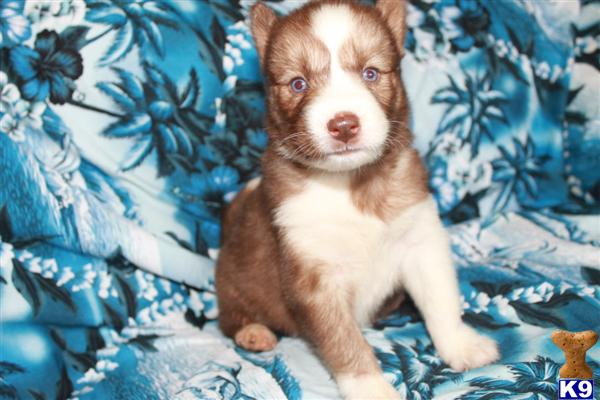 ~AKC REG. BLUE EYES SIBERIAN HUSKY PUPPIES READY NOW~