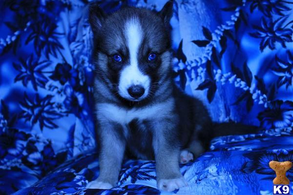 ~AKC GORGEOUS BLUE EYES SIBERIAN HUSKY PUPPIES AVAILABLE NOW~