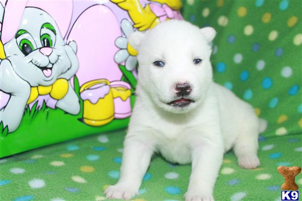 Siberian Husky Puppies in NC