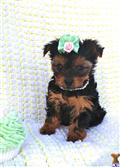 yorkshire terrier puppy posted by threeAKCyorkiebabies