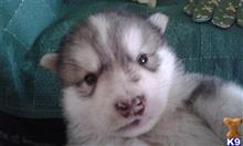wolf dog puppy posted by thumperswolves
