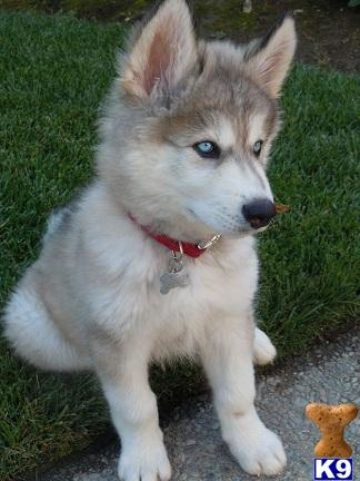 what are those dogs that look like SIBERIAN HUSKY ...