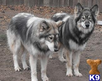 Wolf Dog Puppies
