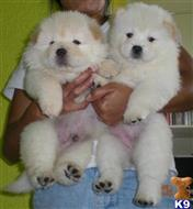 chow chow puppy posted by tianamoore