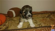 havanese puppy posted by tico11