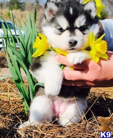 siberian husky puppy posted by tiffolo