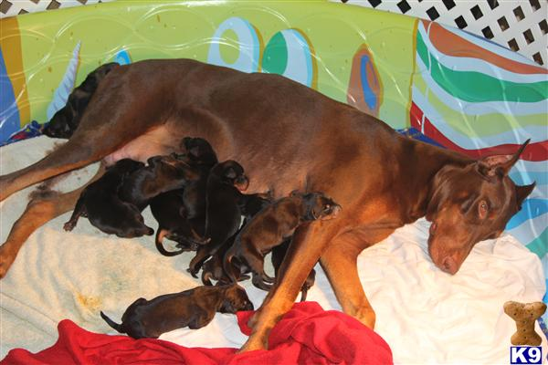 doberman pinscher puppy posted by tigercat62