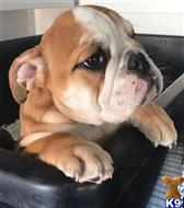 english bulldog puppy posted by tinaolivia