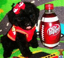 maltipoo puppy posted by tinymaltipoo