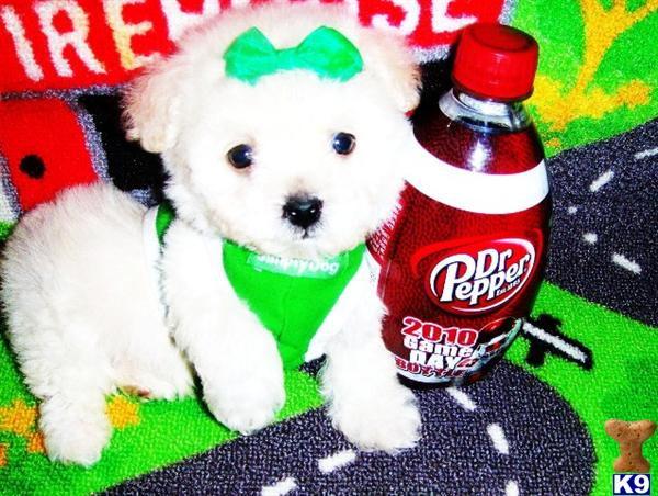 maltese puppy posted by tinymaltipoo