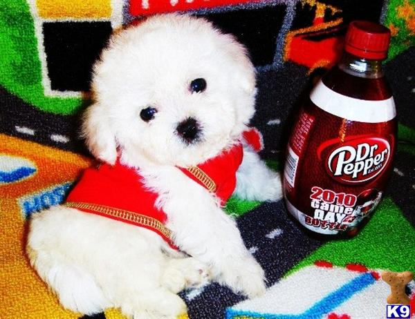 Tiny  Cute Maltipoo Puppies